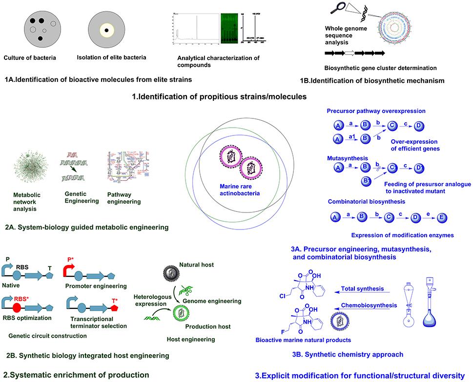 Frontiers | Marine Rare Actinobacteria: Isolation, Characterization