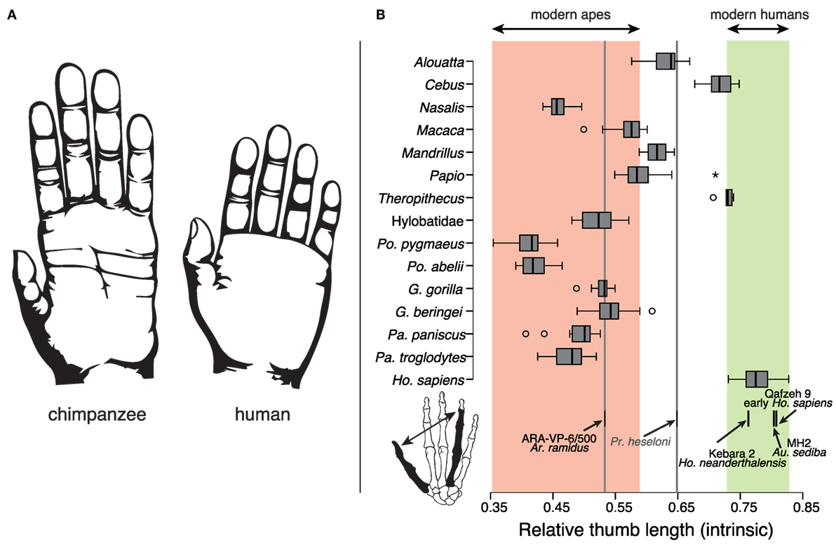 Frontiers | The Role of Morphology of the Thumb in Anthropomorphic ...