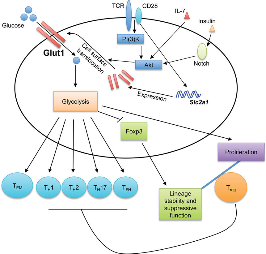 Innate immune response and Th1 inflammation