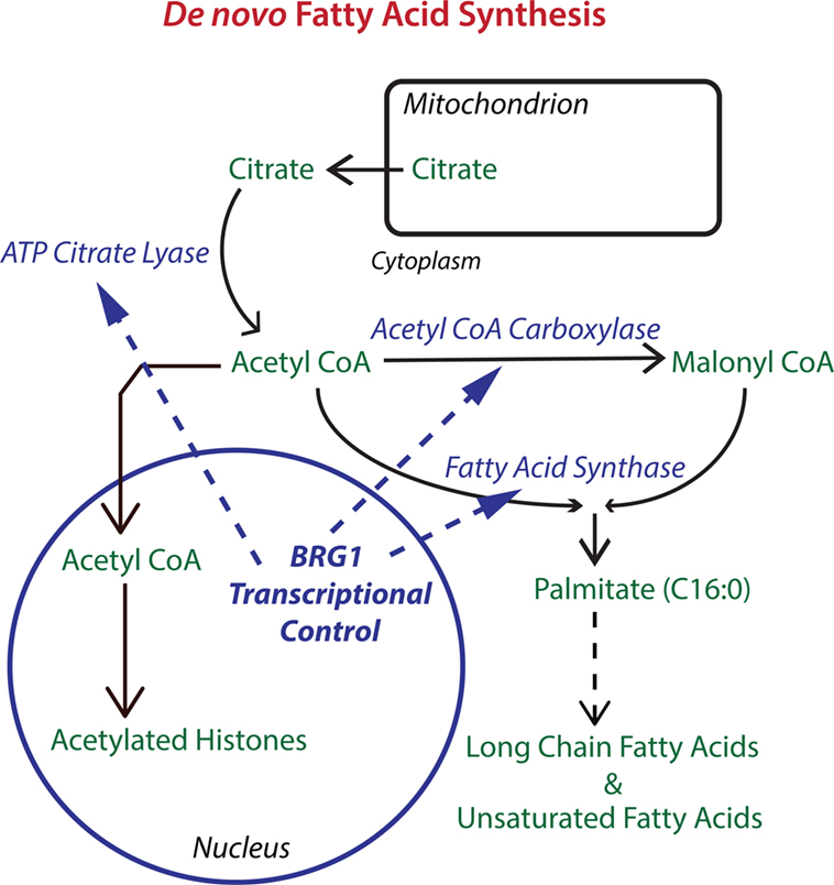 bicarbonate and fatty acid sythesis Discovery of the de novo pathway of palmitate synthesis (1957) bicarbonate requirement and identification of malonyl-coa as an intermediate in fatty acid synthesis (1958.