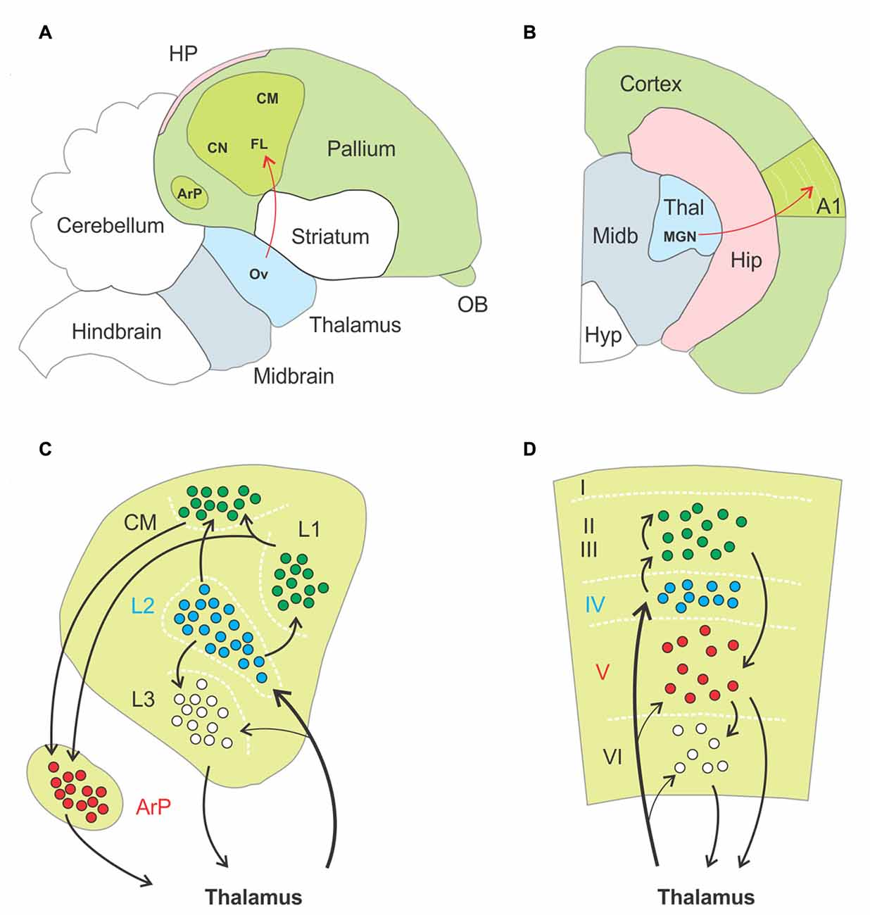 Frontiers | The Functioning of a Cortex without Layers | Frontiers ...