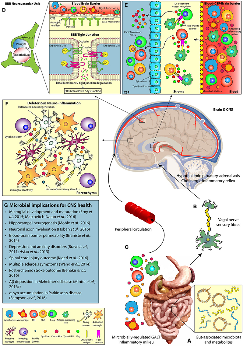 brain disorders blood brain barrier The role of innate immunity, glia, neurons, and the blood-brain barrier in the pathogenesis of neurodegeneration.