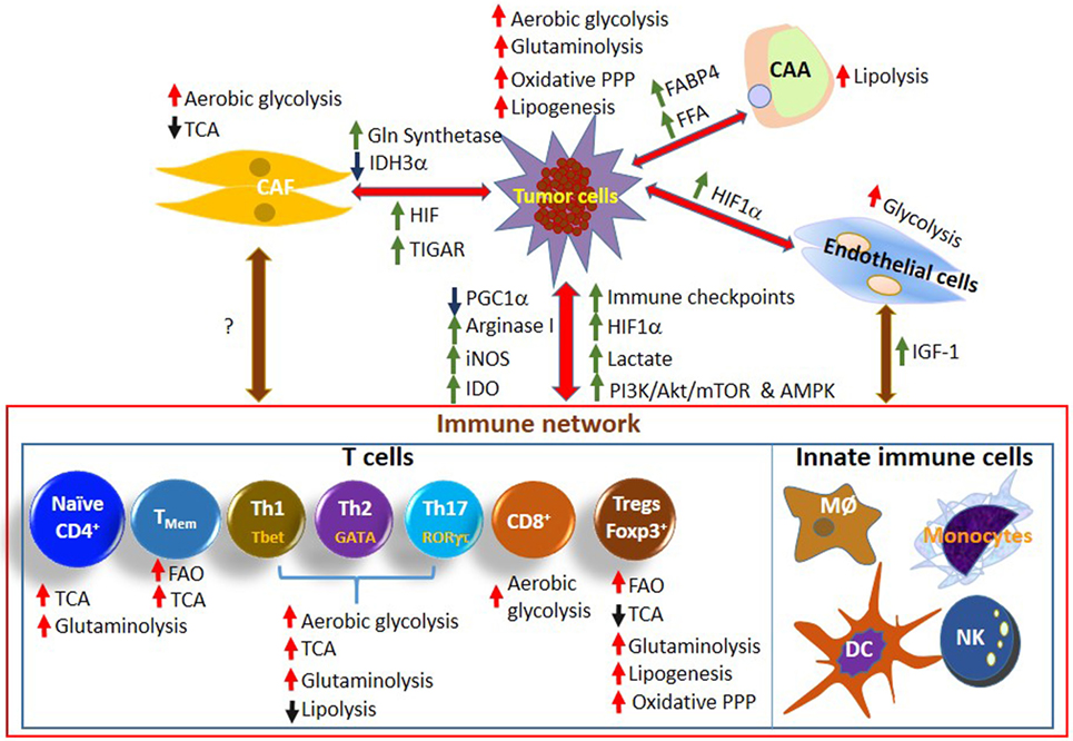 Frontiers | Metabolic Cooperation and Competition in the
