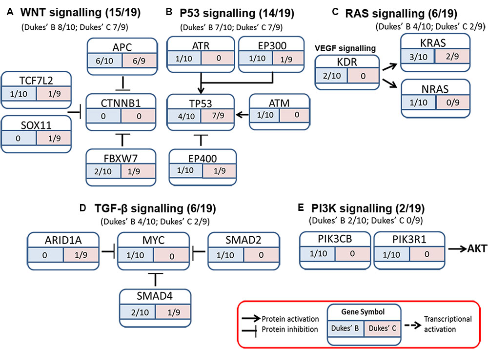 Frontiers Molecular Characterization Of Somatic Alterations In Dukes B And C Colorectal Cancers By Targeted Sequencing Pharmacology