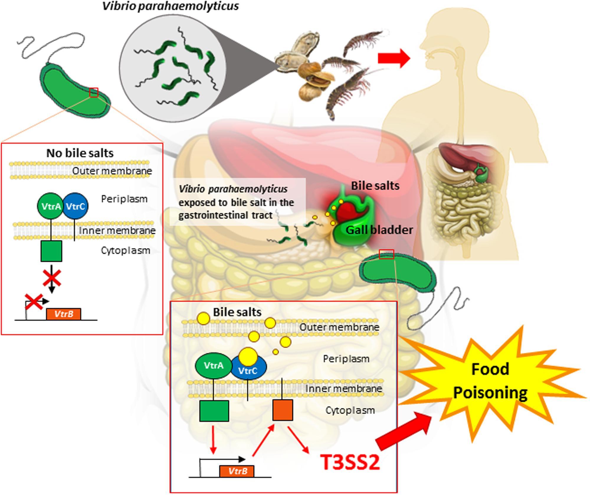 Frontiers Bile Sensing The Activation Of Vibrio Parahaemolyticus