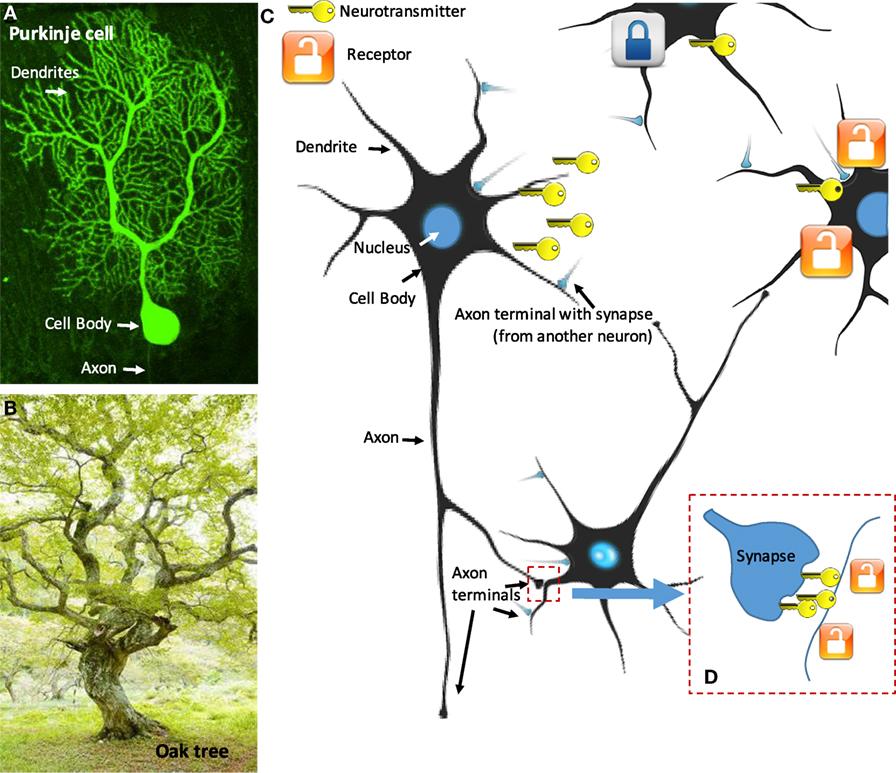 איור 1 - A. חלק מהנוירונים, כמו הנוירון המיוחד הזה, הנקרא תא פורקינייה, דומים מאוד לעצים .C .B מוליכים עצביים (מַפְתֵּחַ) המשוחררים מהכפתורים הטרמינליים צריכים לעבור רווח קטן בלבד (סינפסה), D. כדי להגיע לקולטנים שלהם (מנעול).