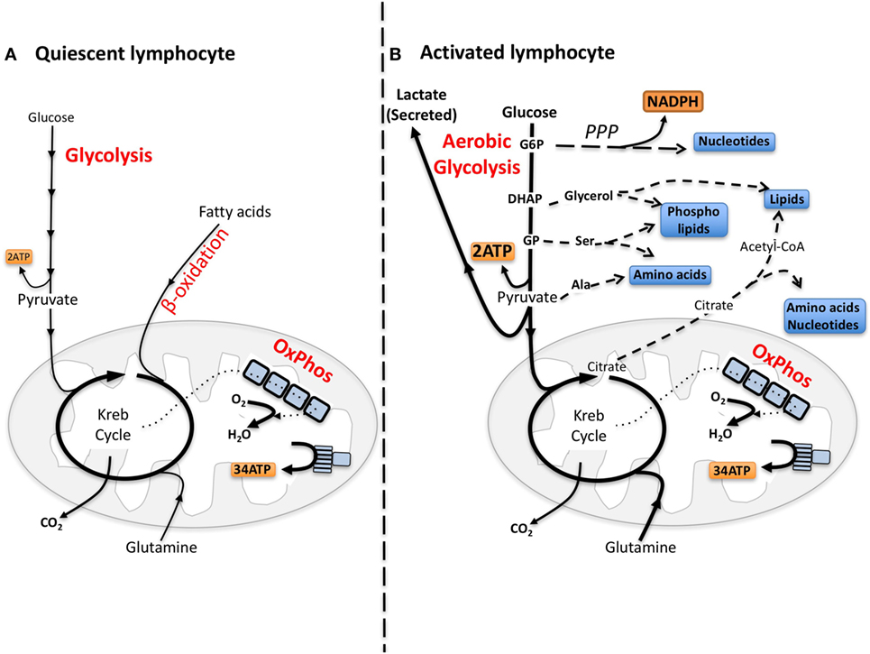 Frontiers | What Fuels Natural Killers? Metabolism and NK Cell