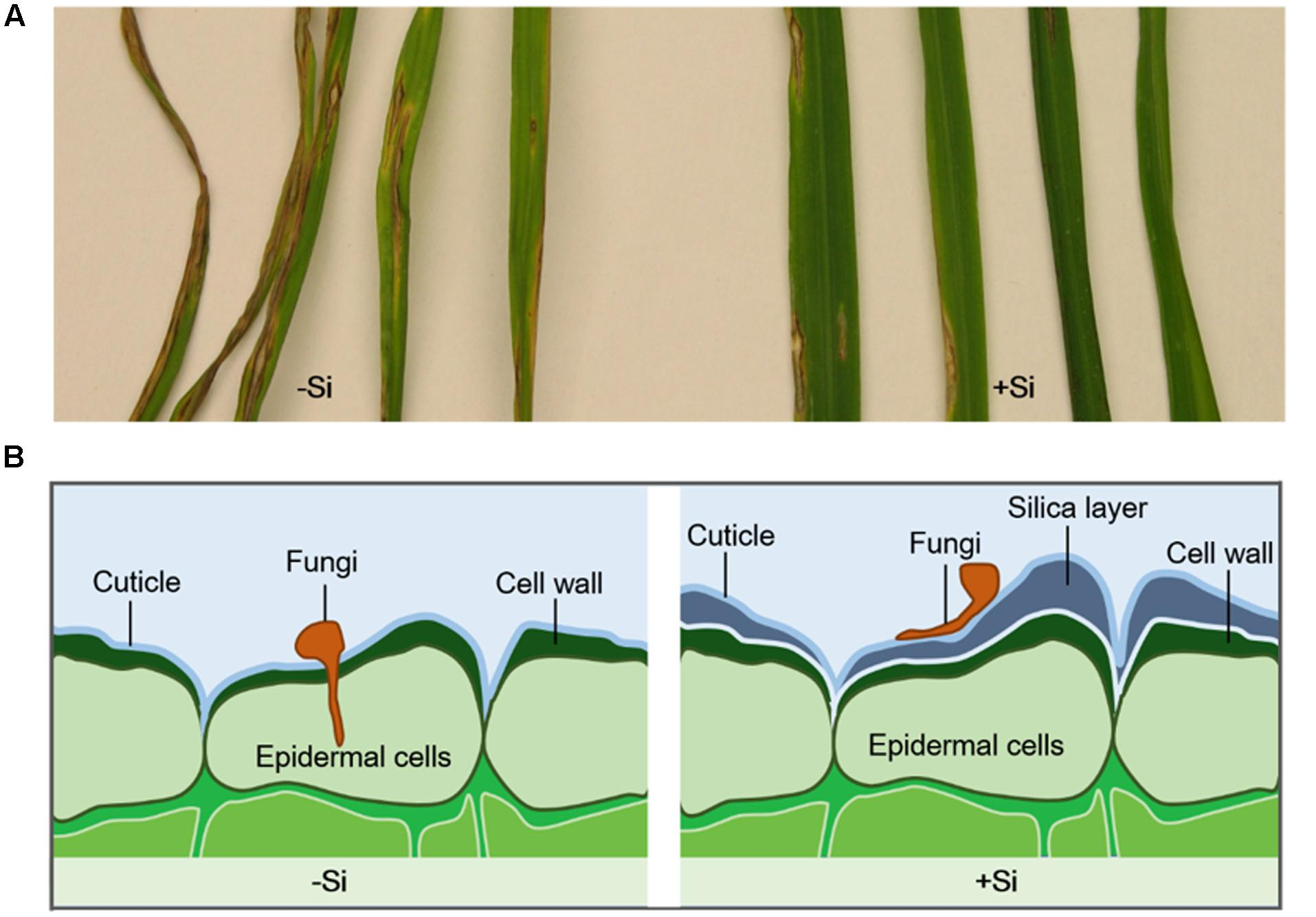 Frontiers Role Of Silicon On Plant Pathogen Interactions Plant Science