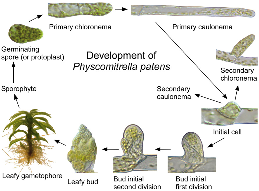 frontiers moss cell walls structure and biosynthesis plant science Moss Spore Cluster