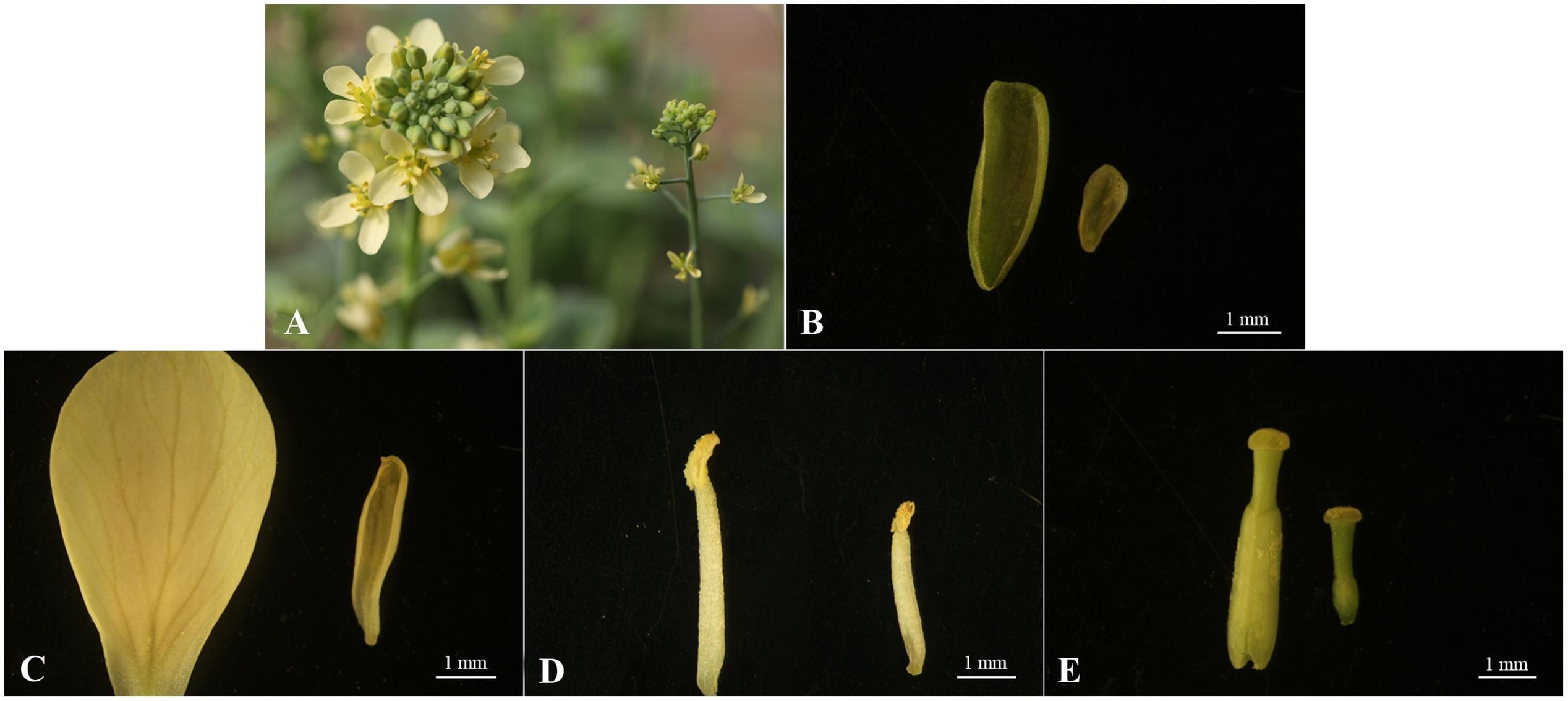 Planta monoica unisexual plant