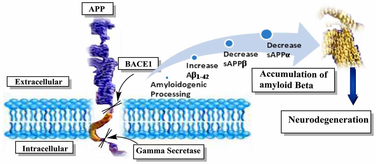 Frontiers | Neuroprotective and Anti-Aging Potentials of