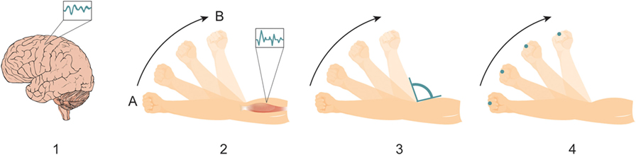 Figure 1 - Generating a movement involves a chain of reactions that propagates from our brain to multiple body parts.