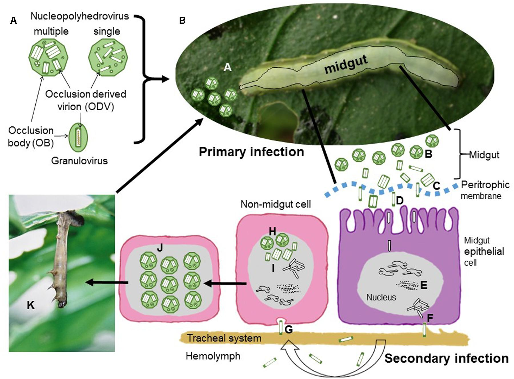 Frontiers | Covert Infection of Insects by Baculoviruses