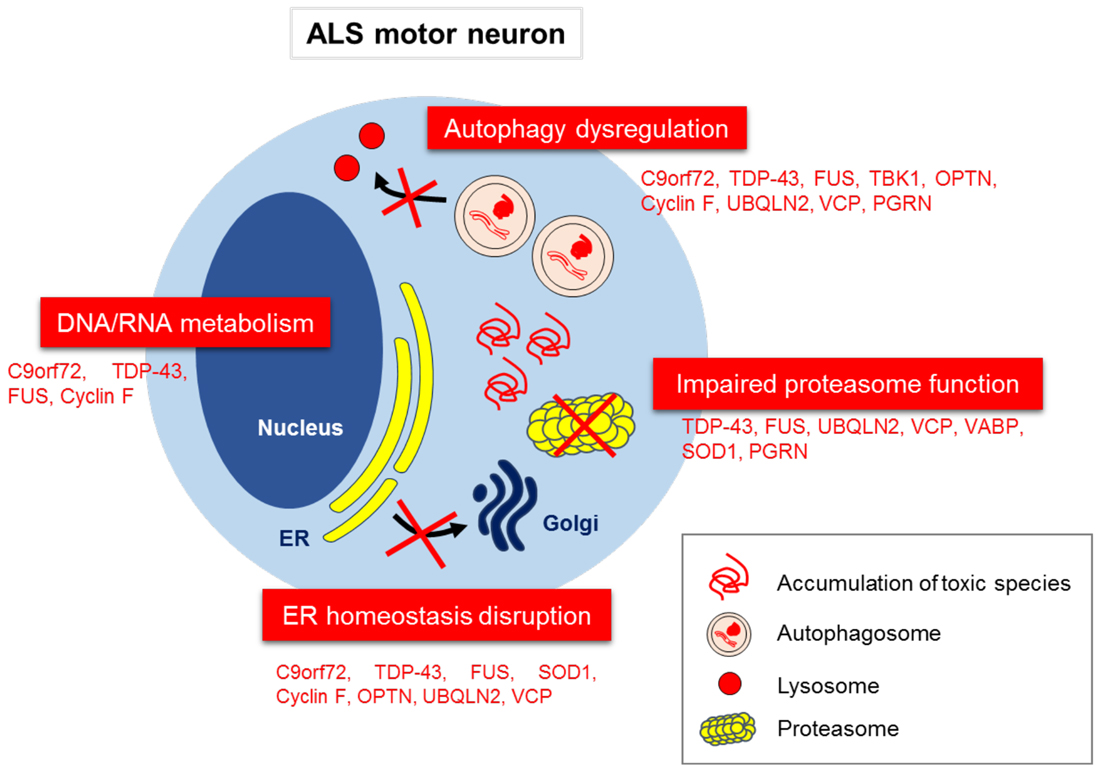 ALS: Gene Mutation, Protein Misfolding, and a Possible Treatment