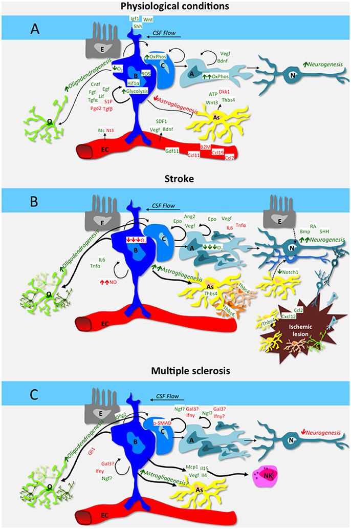 Frontiers Neural Stem Cell Plasticity Advantages In Therapy For