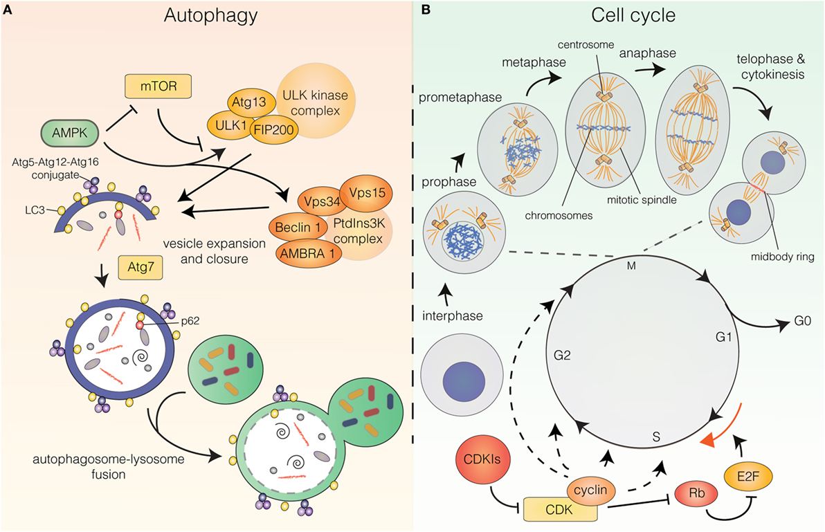 Frontiers | Autophagy and the Cell Cycle: A Complex Landscape | Oncology