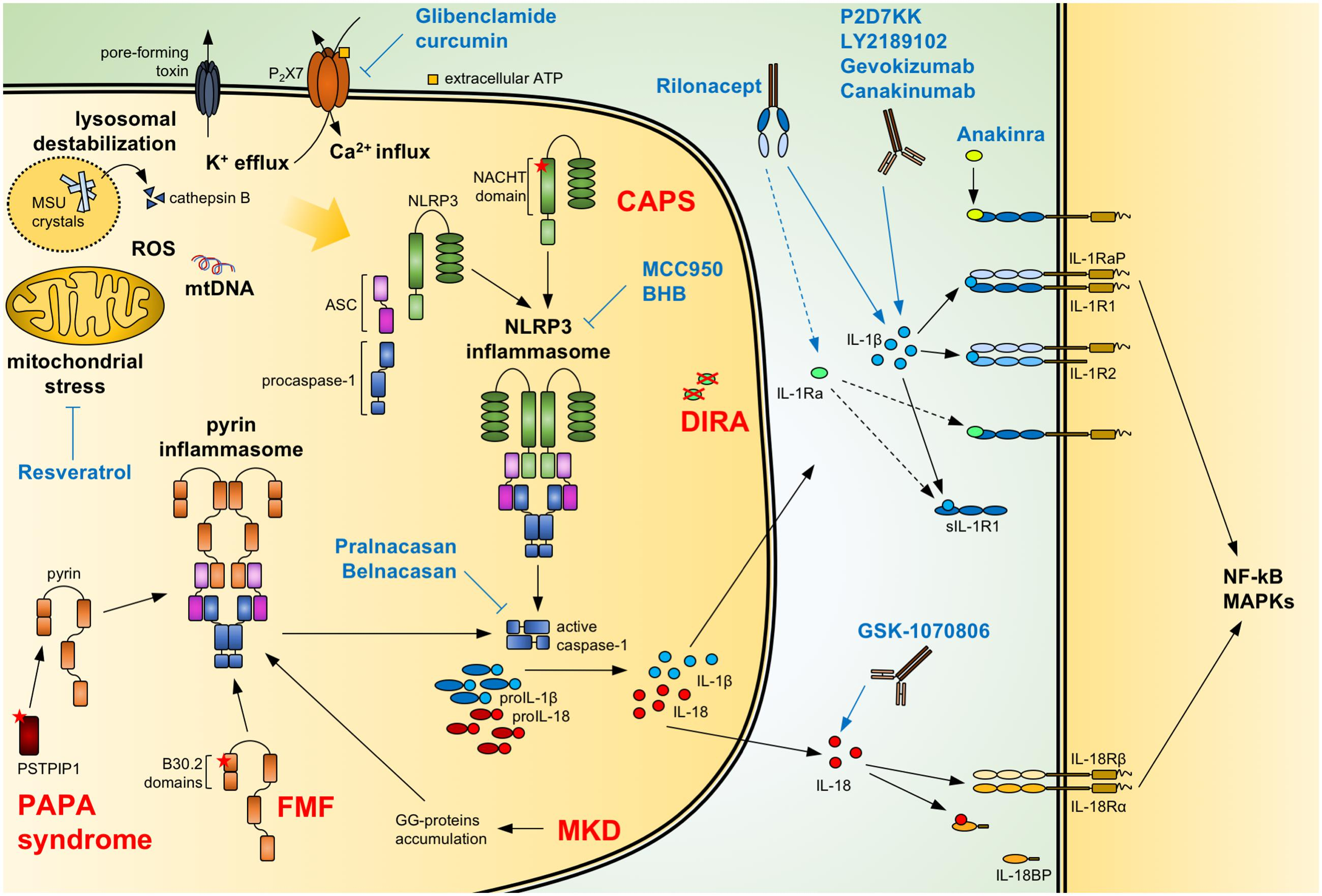 Frontiers | Potential of IL-1, IL-18 and Inflammasome