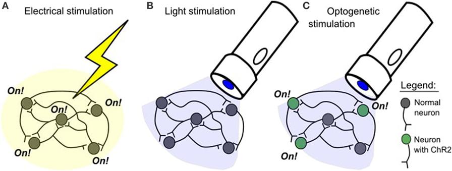 איור 1 - A. במחקר גירוי חשמלי, כל התאים הסמוכים לאתר הגירוי יופעלו.