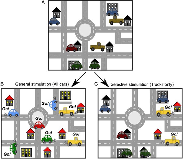 איור 2 - A. בדיוק כפי שיש כבישים רבים בעיר, יש נתיבים רבים במוח.