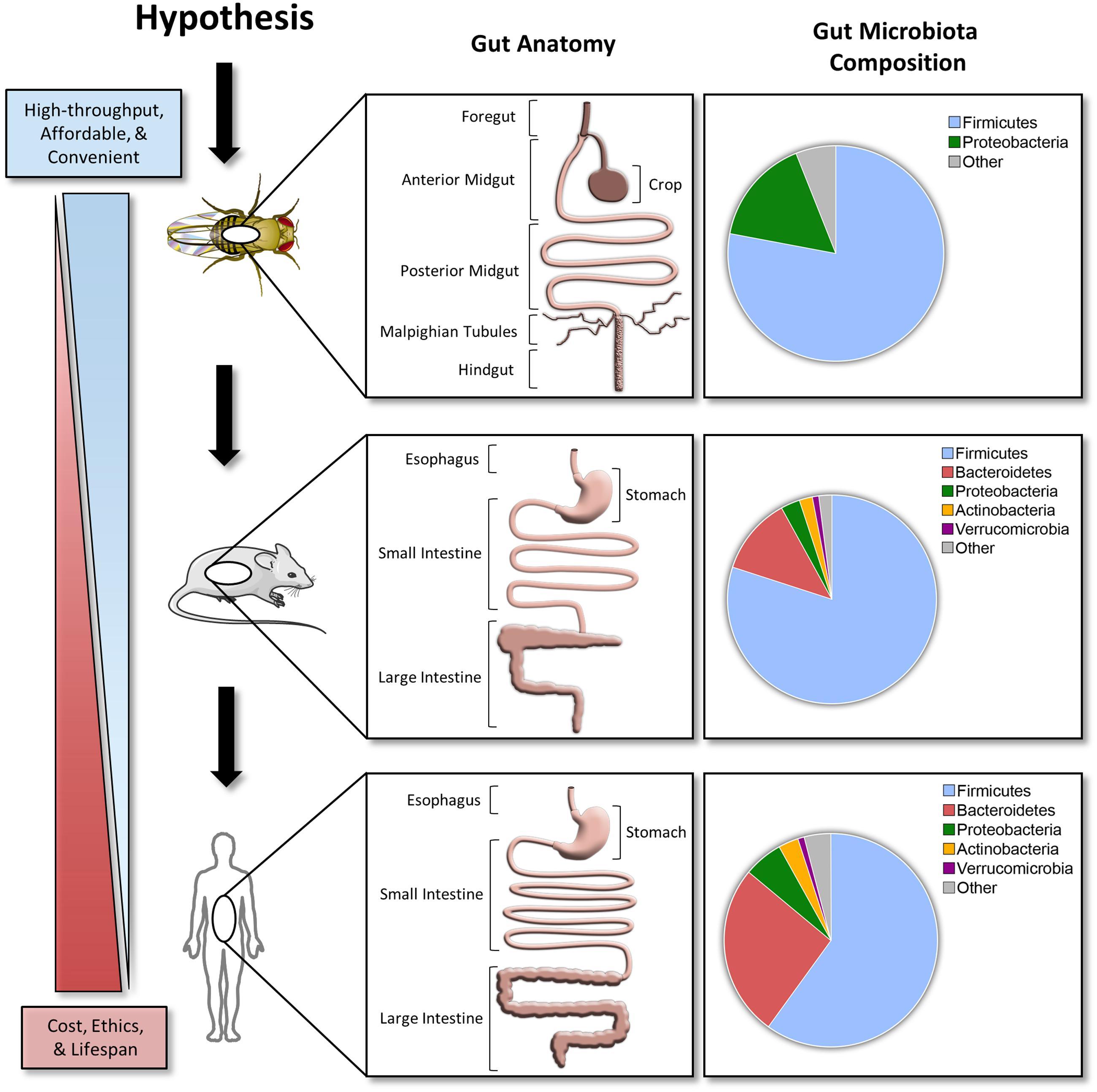 Frontiers | Drosophila melanogaster as a High-Throughput Model for ...