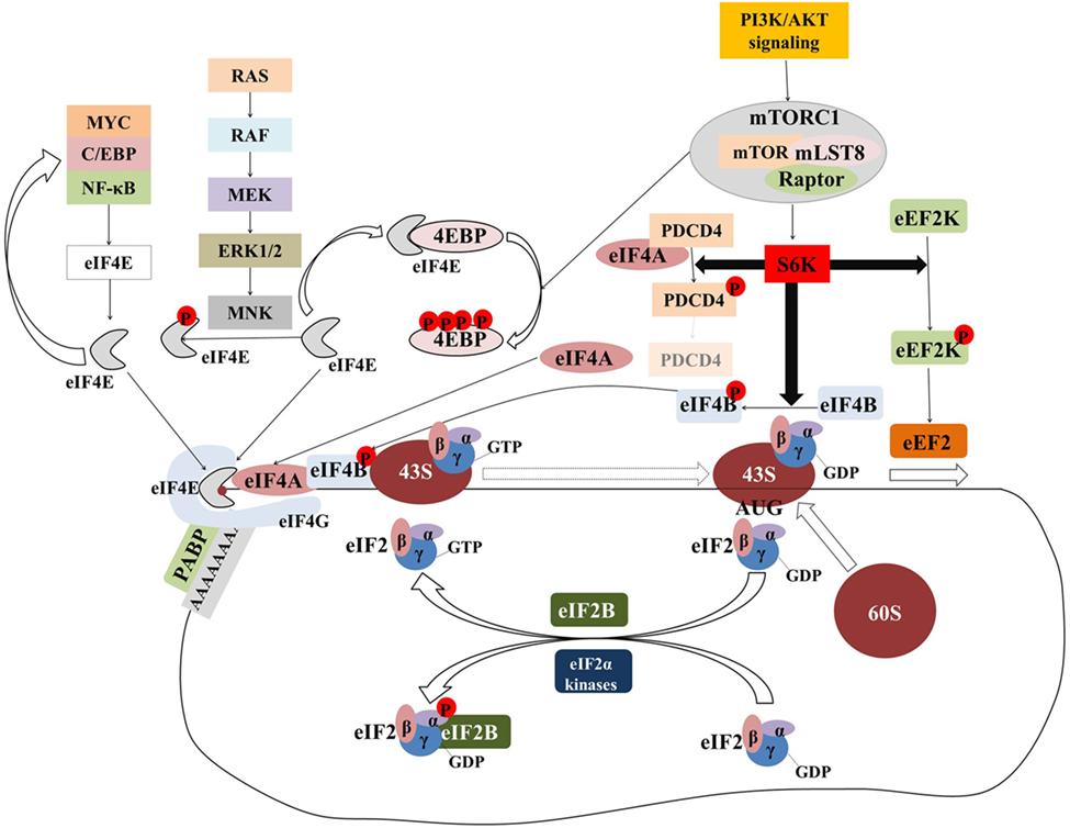 Frontiers | Translational Dysregulation in Cancer: Molecular
