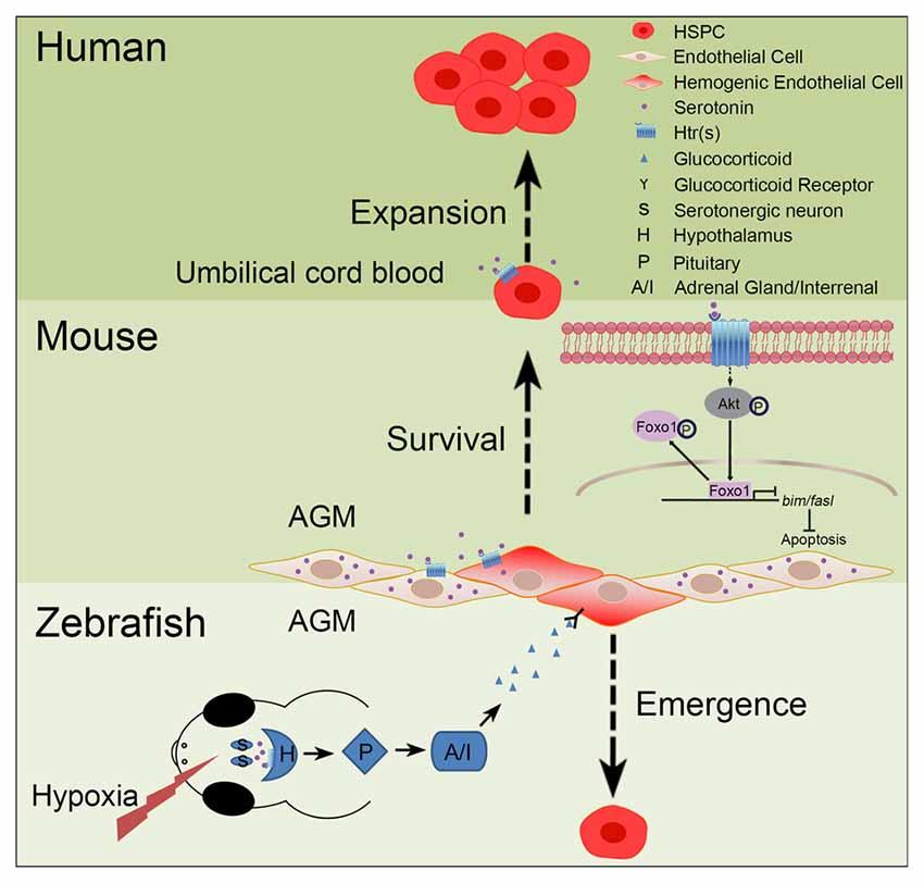 Serotonerginen Oireyhtymä