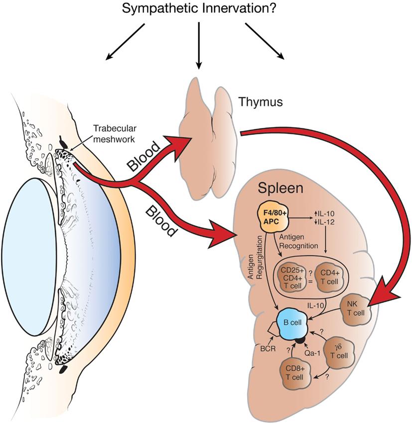 Beautiful Dog Internal Organs Diagram Adornment - Anatomy And ...