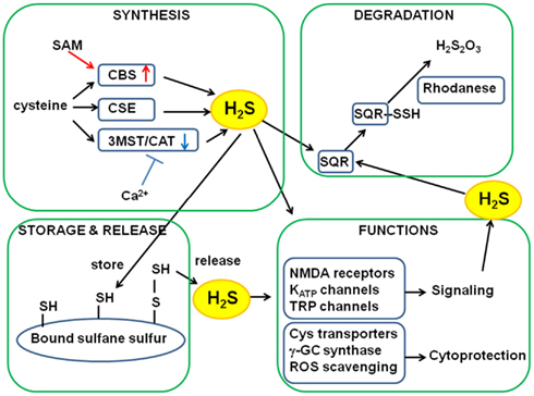 frontiers metabolic turnover of hydrogen sulfide physiology