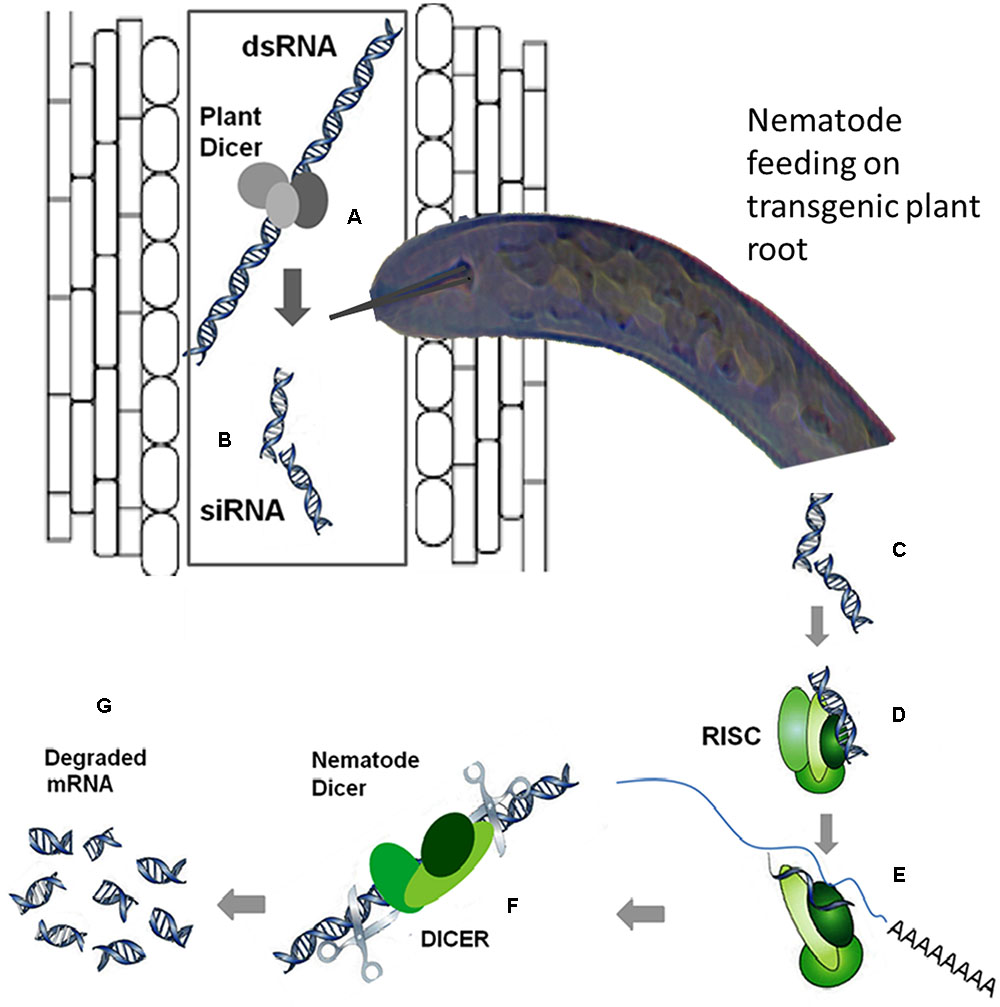 Frontiers transgenic strategies for enhancement of nematode frontiersin pooptronica Gallery