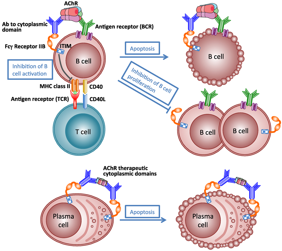 Frontiers Mechanisms Of Autoantibody Induced Pathology Immunology Oxygen Molecule Science Diagram Christian Classroom Clipart
