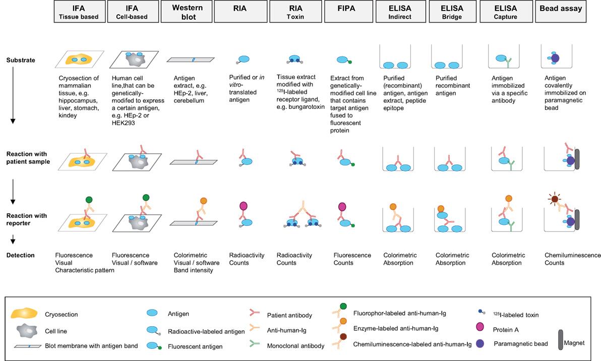 Frontiers | Mechanisms of Autoantibody-Induced Pathology | Immunology