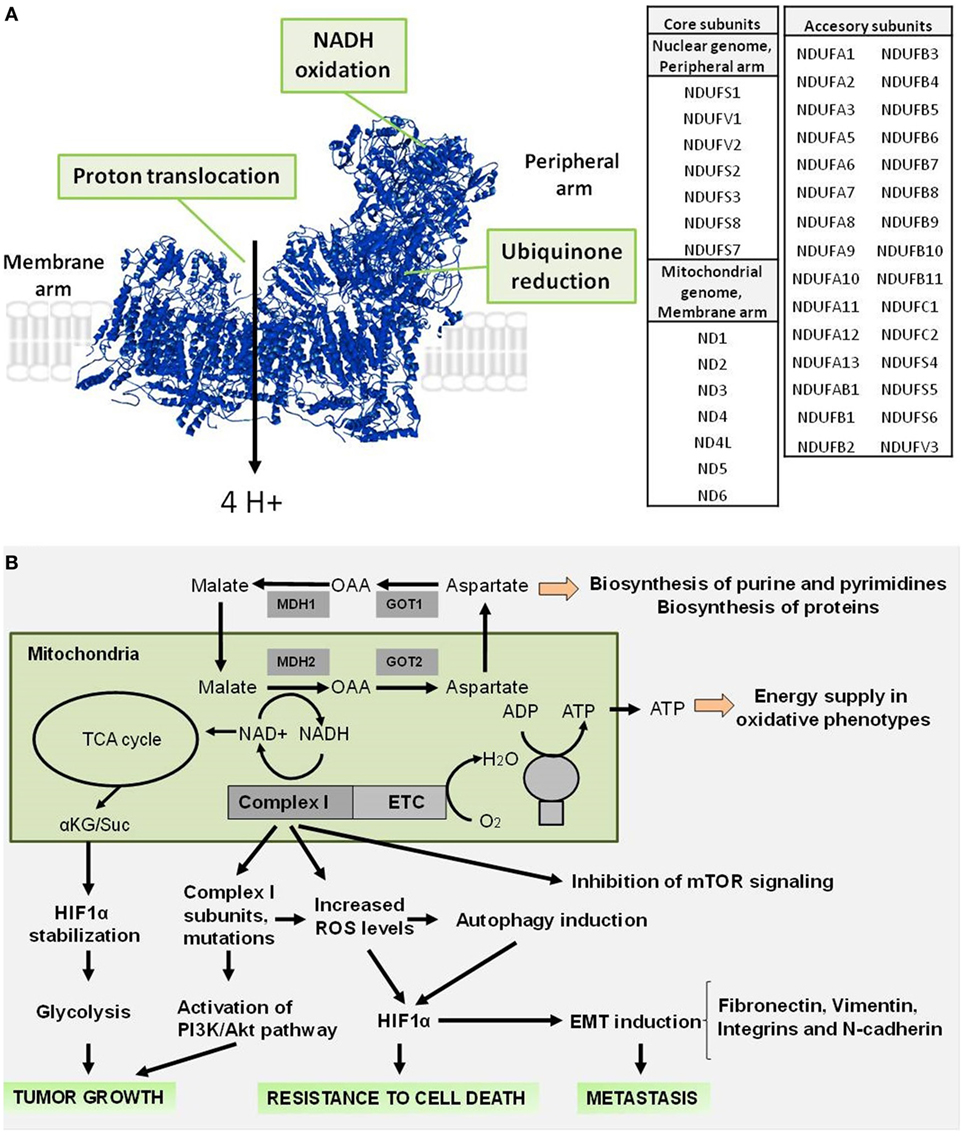 Frontiers | The Mitochondrial Complex(I)ty of Cancer | Oncology