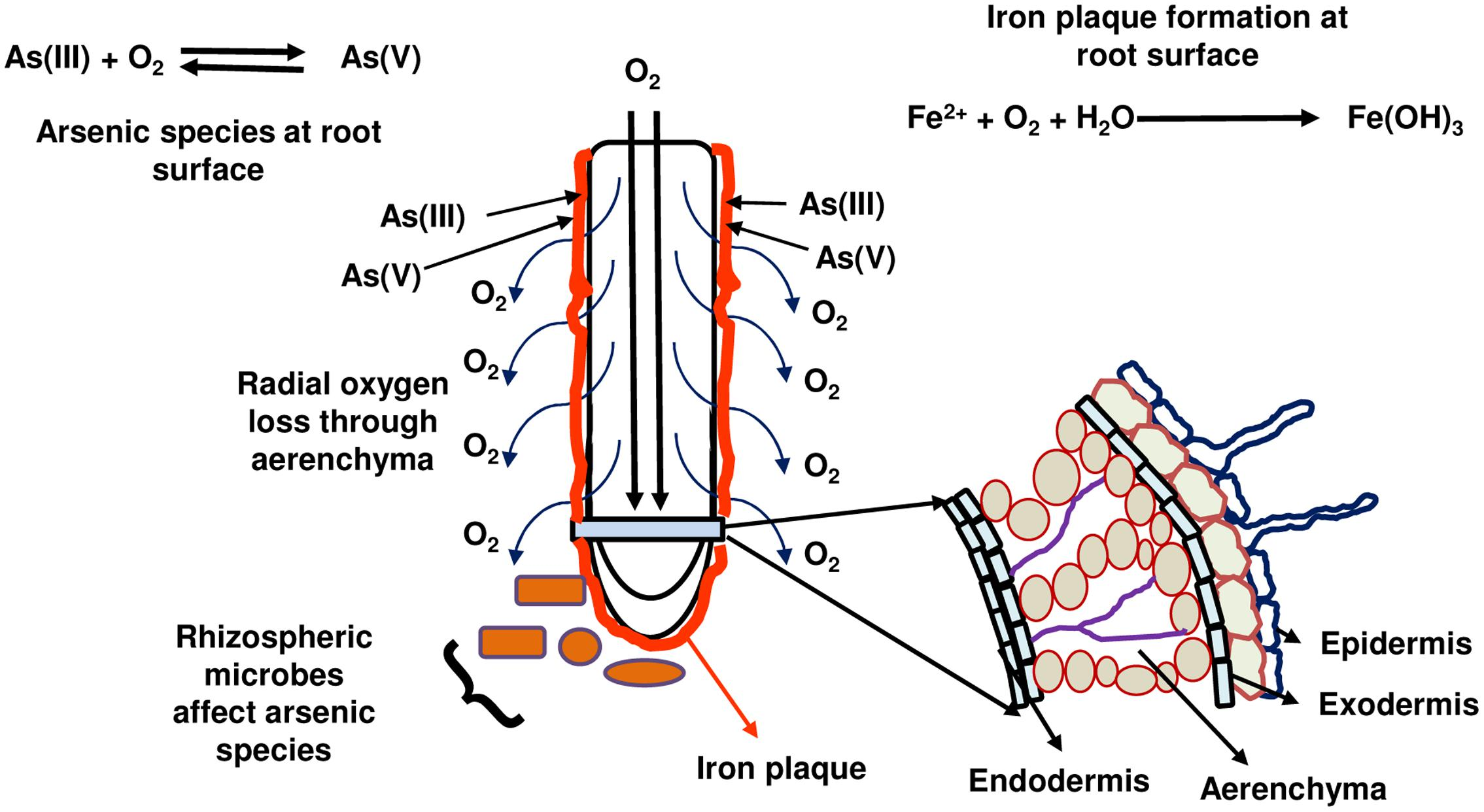 Frontiers the journey of arsenic from soil to grain in rice frontiersin pooptronica