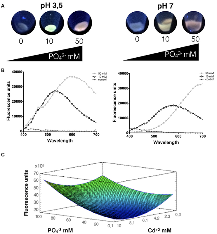 Frontiers | Phosphate Favors the Biosynthesis of CdS Quantum Dots in