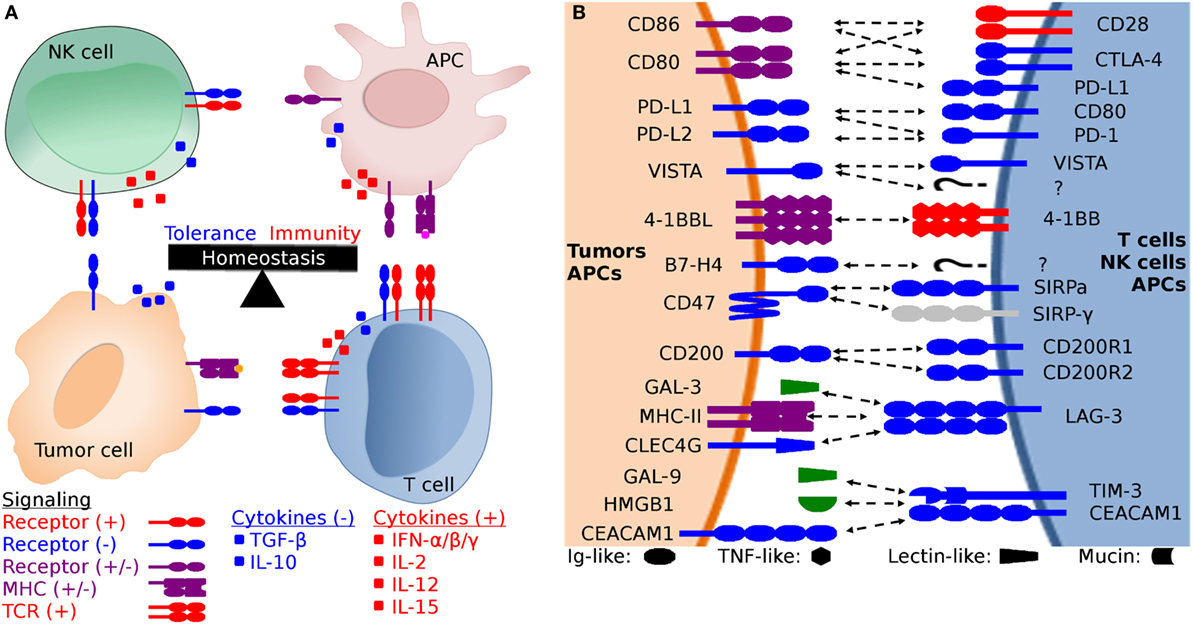 Frontiers Comparative Analysis Of Immune Checkpoint Molecules And