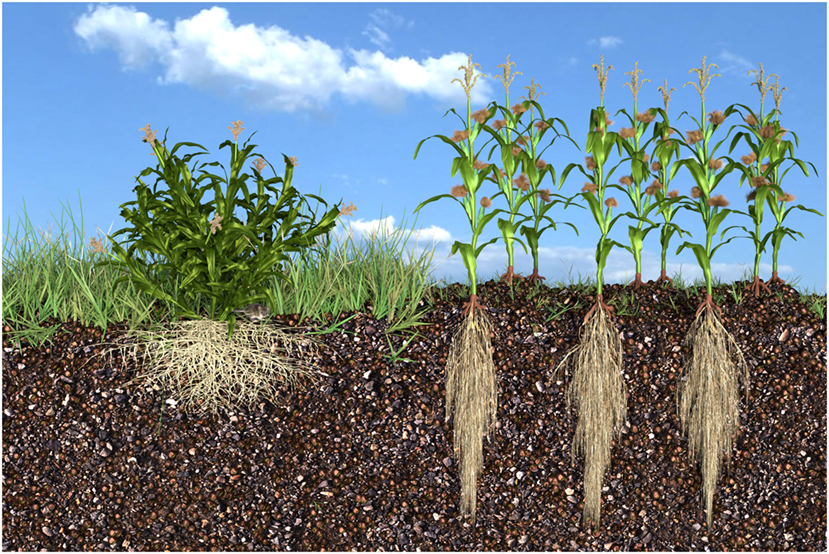 Figure 1 - Teosinte and modern corn.