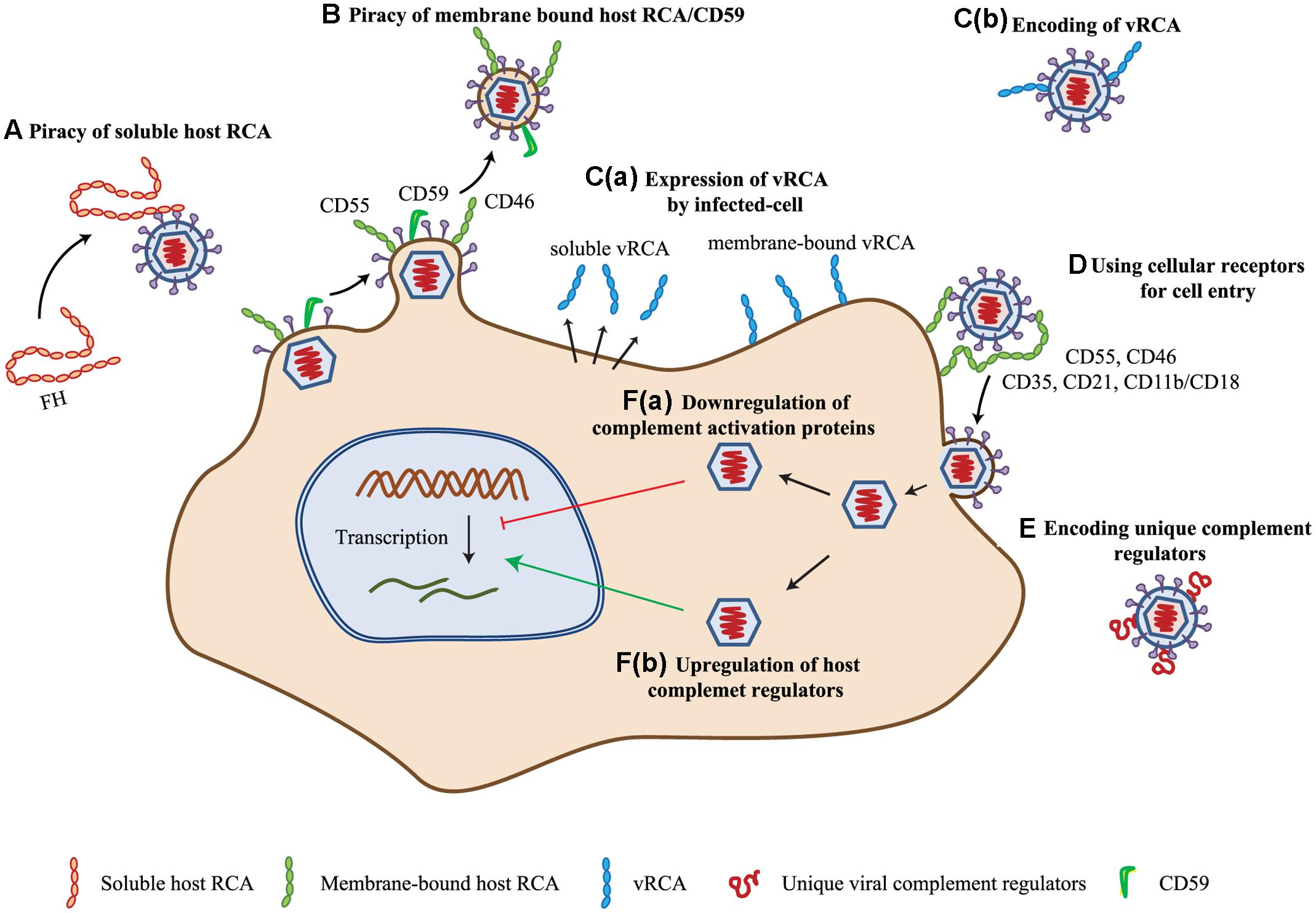 frontiers complement evasion strategies of viruses an  id armb%c3%a4nder c 33_41 #10