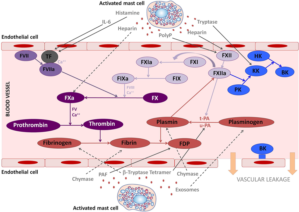 Frontiers | The Mast Cell, Contact, and Coagulation System
