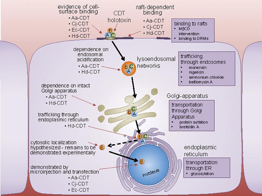 campylobacter pylori toxin)
