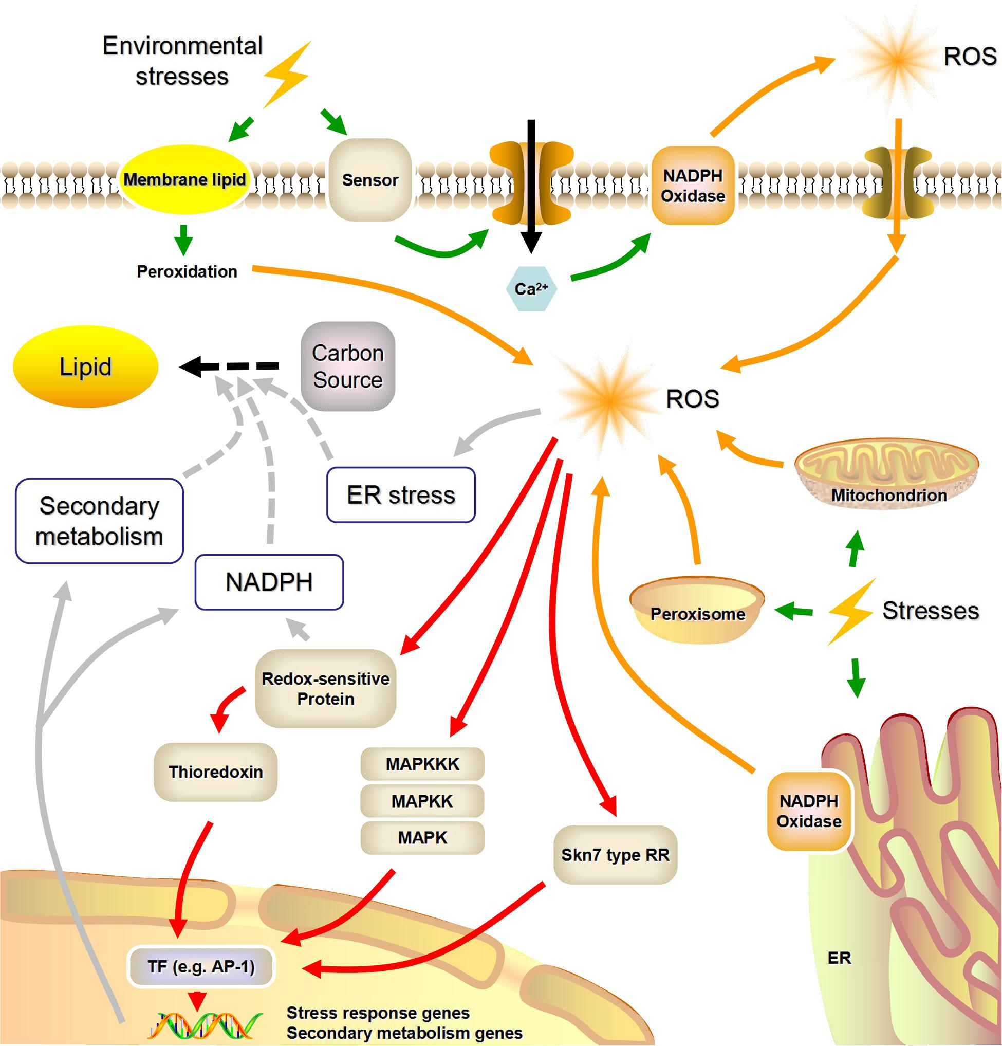 Frontiers | Reactive Oxygen Species-Mediated Cellular Stress