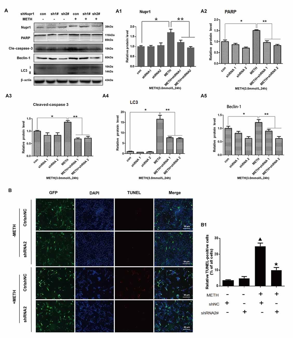 Frontiers | Nupr1 Modulates Methamphetamine-Induced Dopaminergic