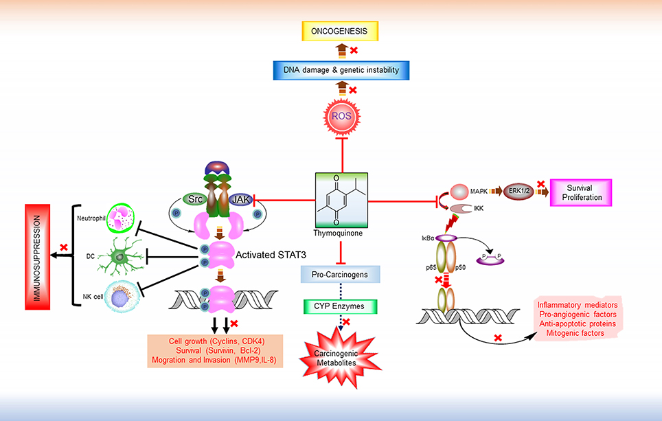 Frontiers | Thymoquinone as a Potential Adjuvant Therapy for Cancer