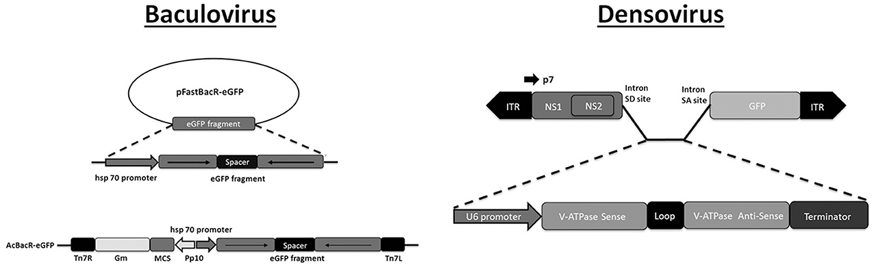 Frontiers | Viral Delivery of dsRNA for Control of Insect