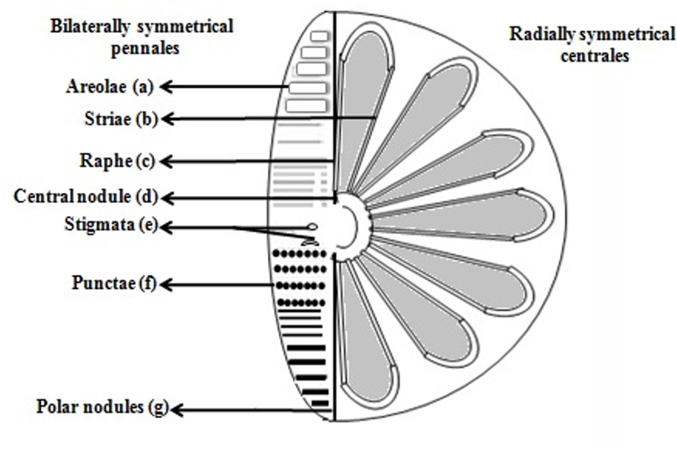 diatom diagram - photo #14