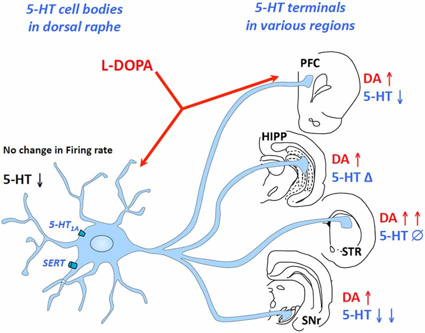 Frontiers Impairment Of Serotonergic Transmission By The