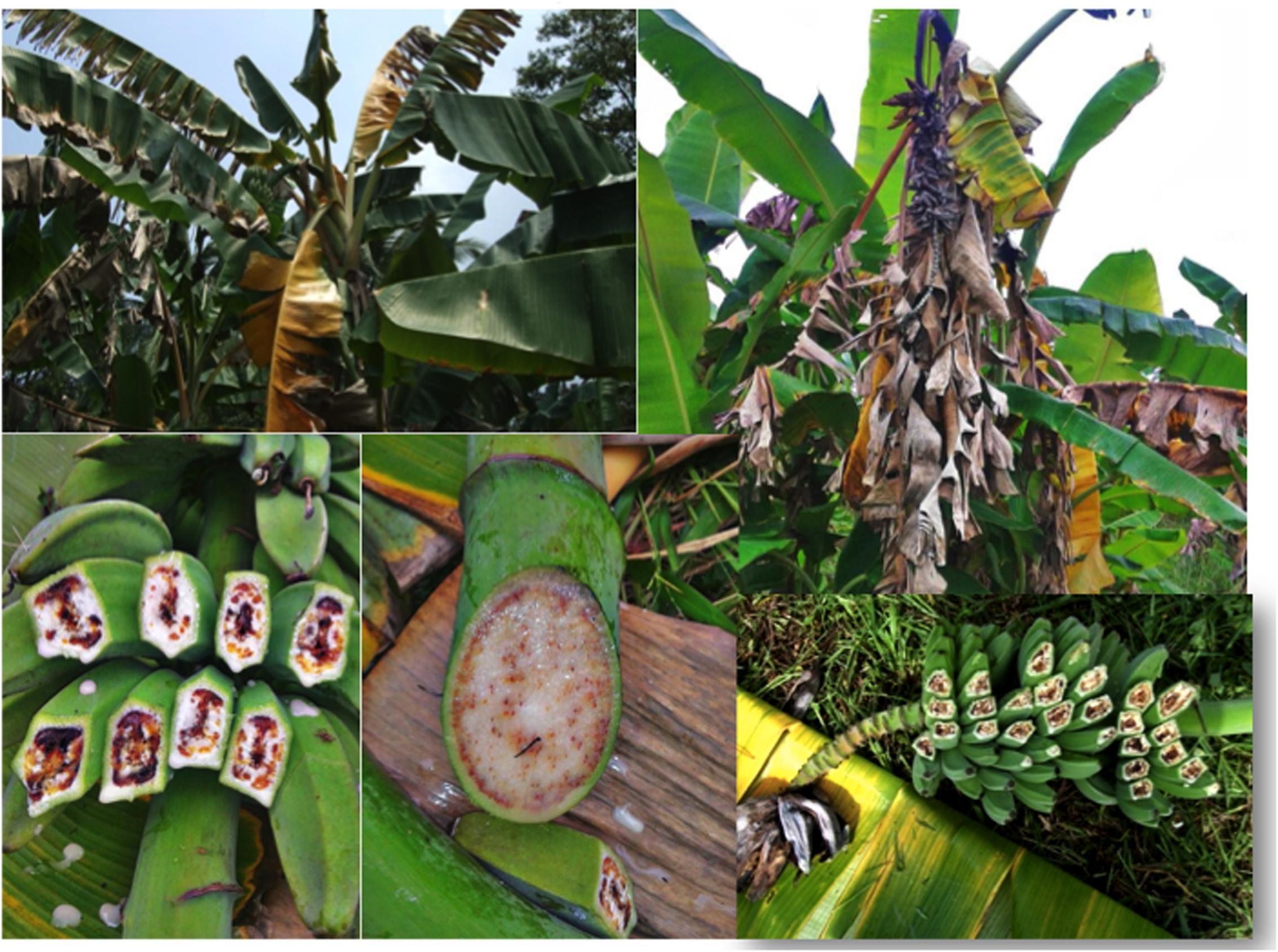 Bananele MG ar putea asigura securitatea alimentară a Ugandei