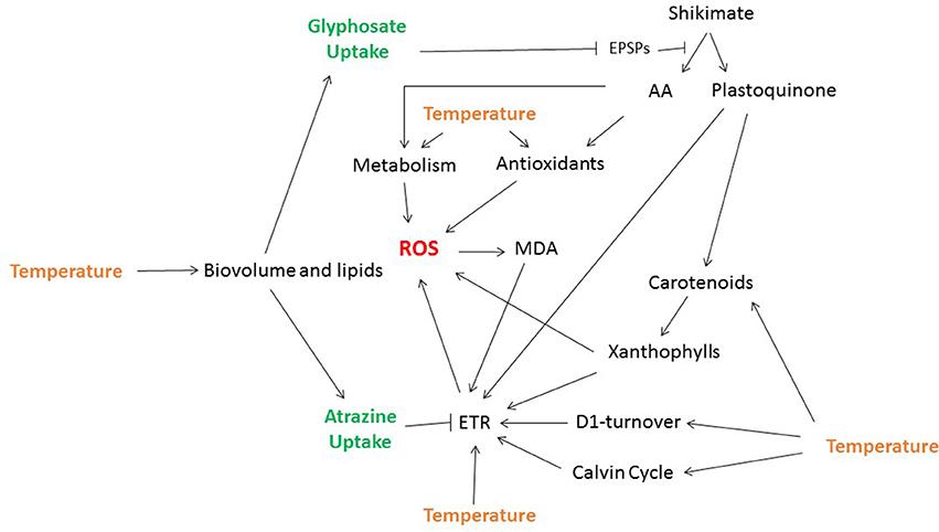 effects of glyphosate on living organisms essay