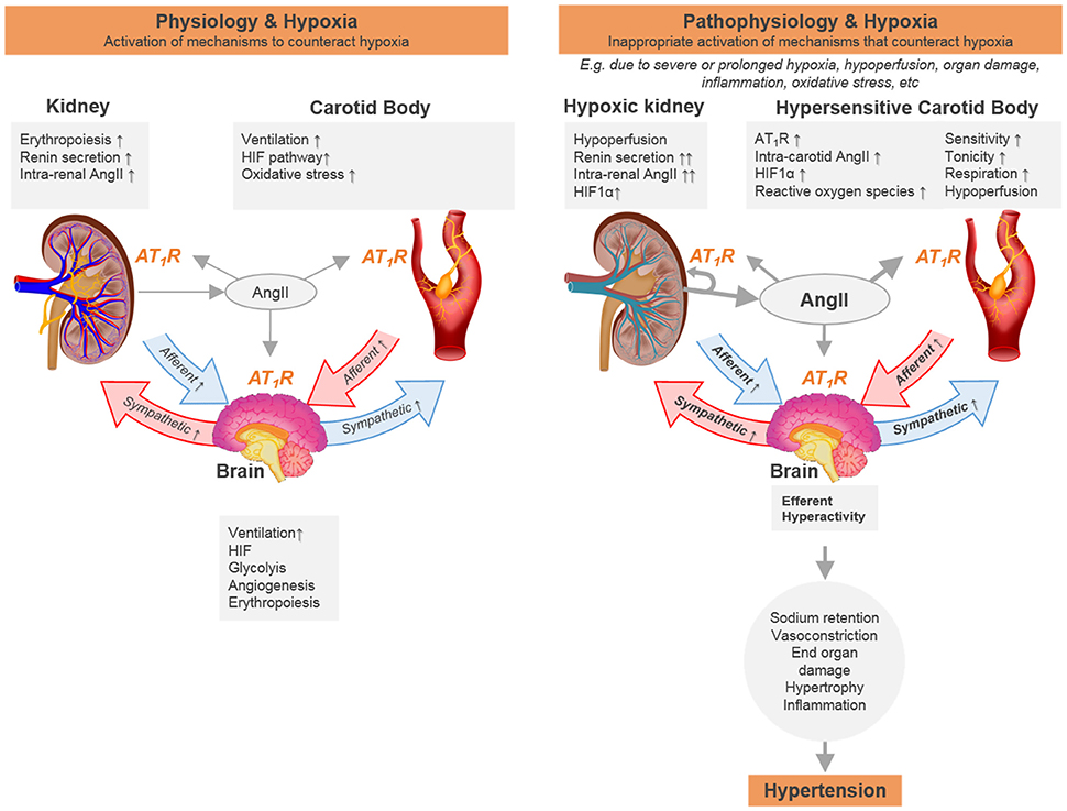 Frontiers Cooperative Oxygen Sensing By The Kidney And Carotid