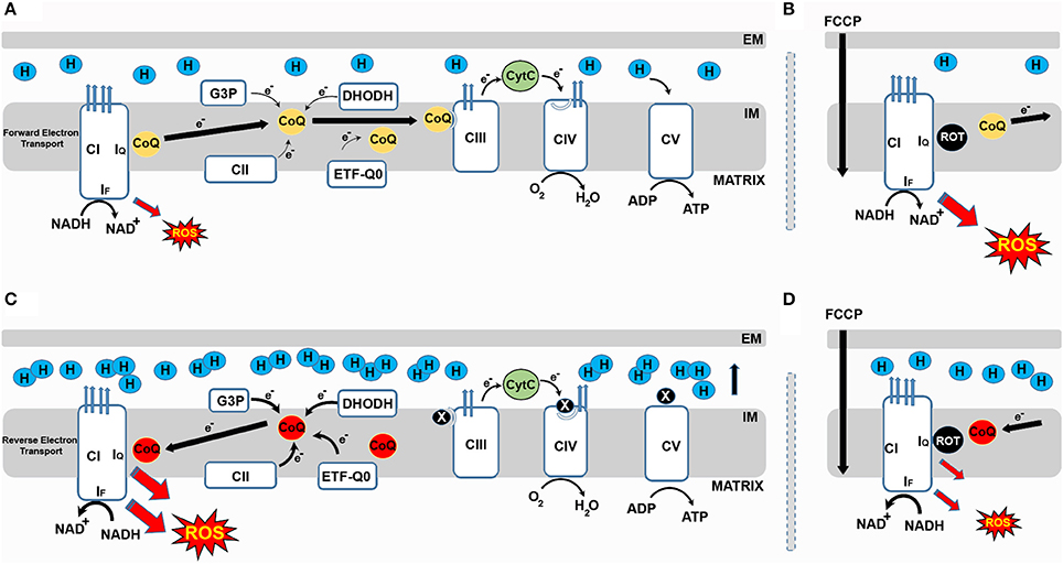 Frontiers Role Of Mitochondrial Reverse Electron Transport In Ros