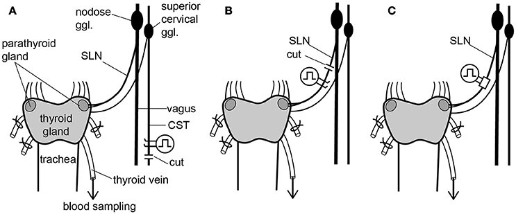 Frontiers Modulation Of Calcitonin Parathyroid Hormone And Thyroid Hormone Secretion By Electrical Stimulation Of Sympathetic And Parasympathetic Nerves In Anesthetized Rats Neuroscience